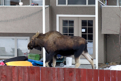"""Moose in the Neighbor's Yard"""