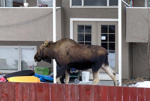 """Moose in the Neighbor's Yard"""