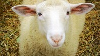 Anthology Poet Highlight 38/82: Marilyn Nielson, &#8220;Sheep&#8221; (Marilyn&#8217;s reading of &#8220;Sheep&#8221;) To speak for those who otherwise can&#8217;t, to give the unvoiced a voice, the other languaged means by which to understand and be understood by others: these seem to...