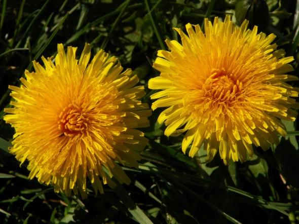 """Dandelion (Taraxacum officinale)"" from Peter aka anemoneprojectors on Flickr"