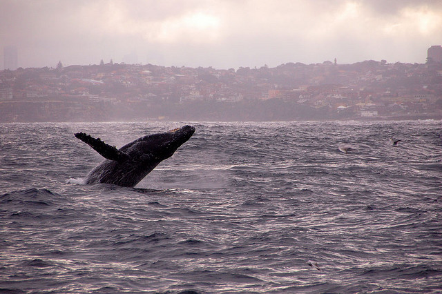 """""""46 leapin whales!!!"""" from Chewy Chua on Flickr (BY NC ND)"""